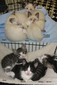 Molly's Kittens: Saraburi, Sagwa, Singha, MingMiao(ADOPTED), Pecan, Almond, Hickory
